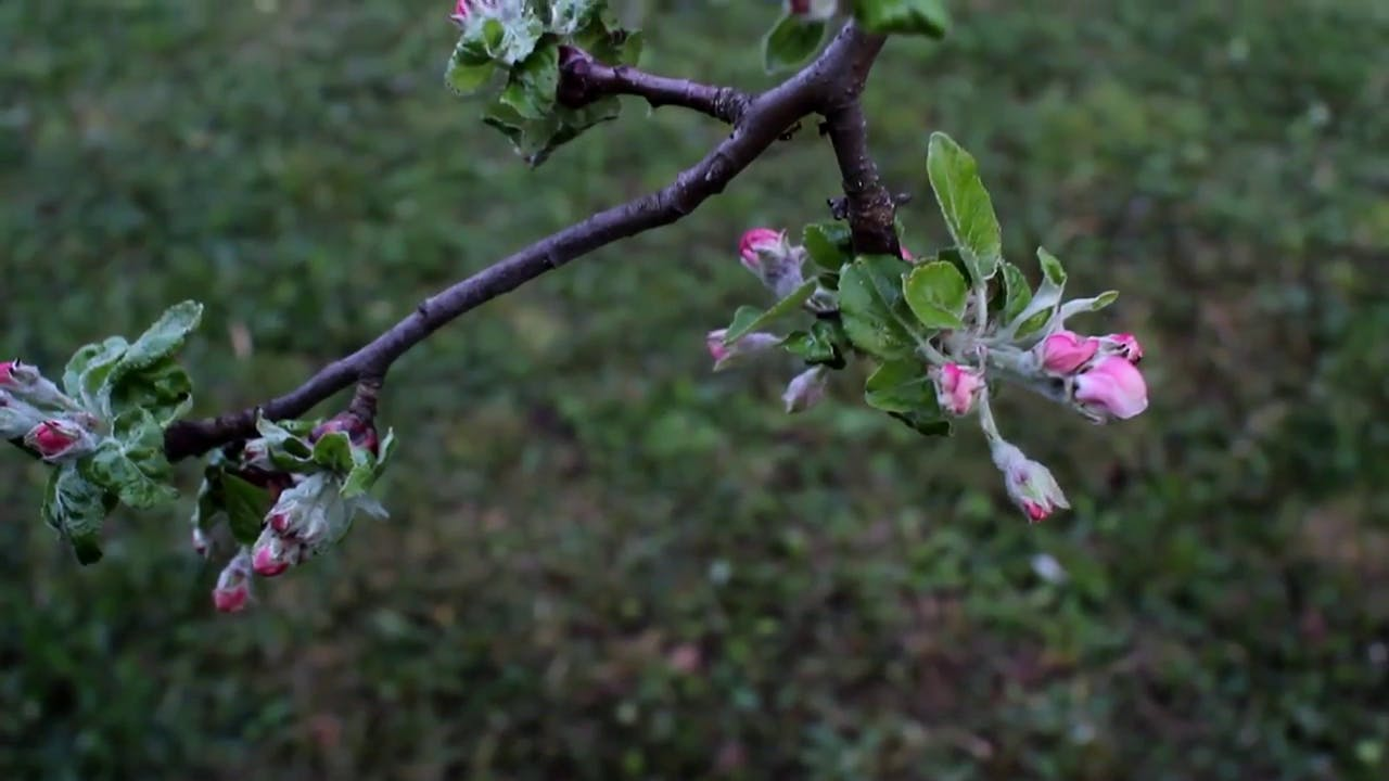 Apple tree braches stock footage clip