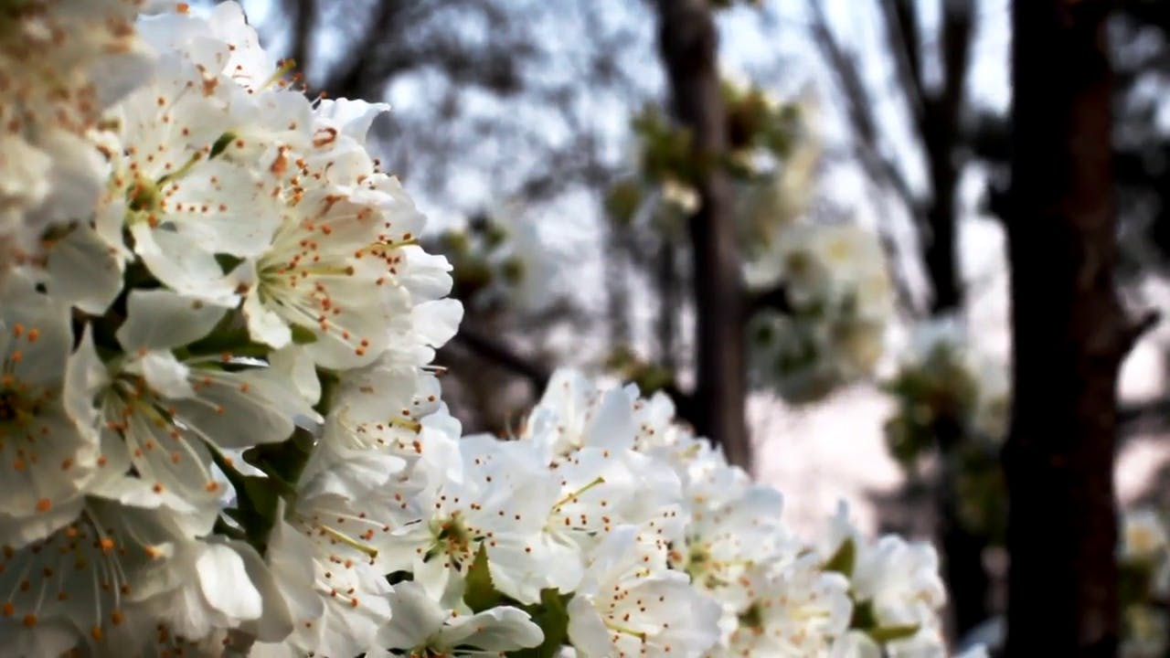 Close up cherry blossom flowers free stock footage clip