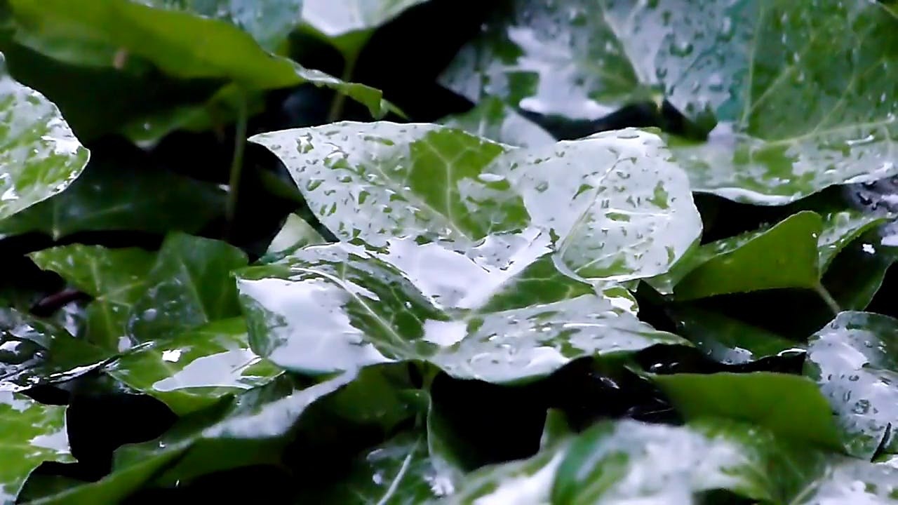 Rain slowly dropping on green leaves stock video