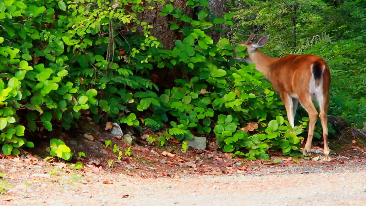 Deer in the forest eating leaves