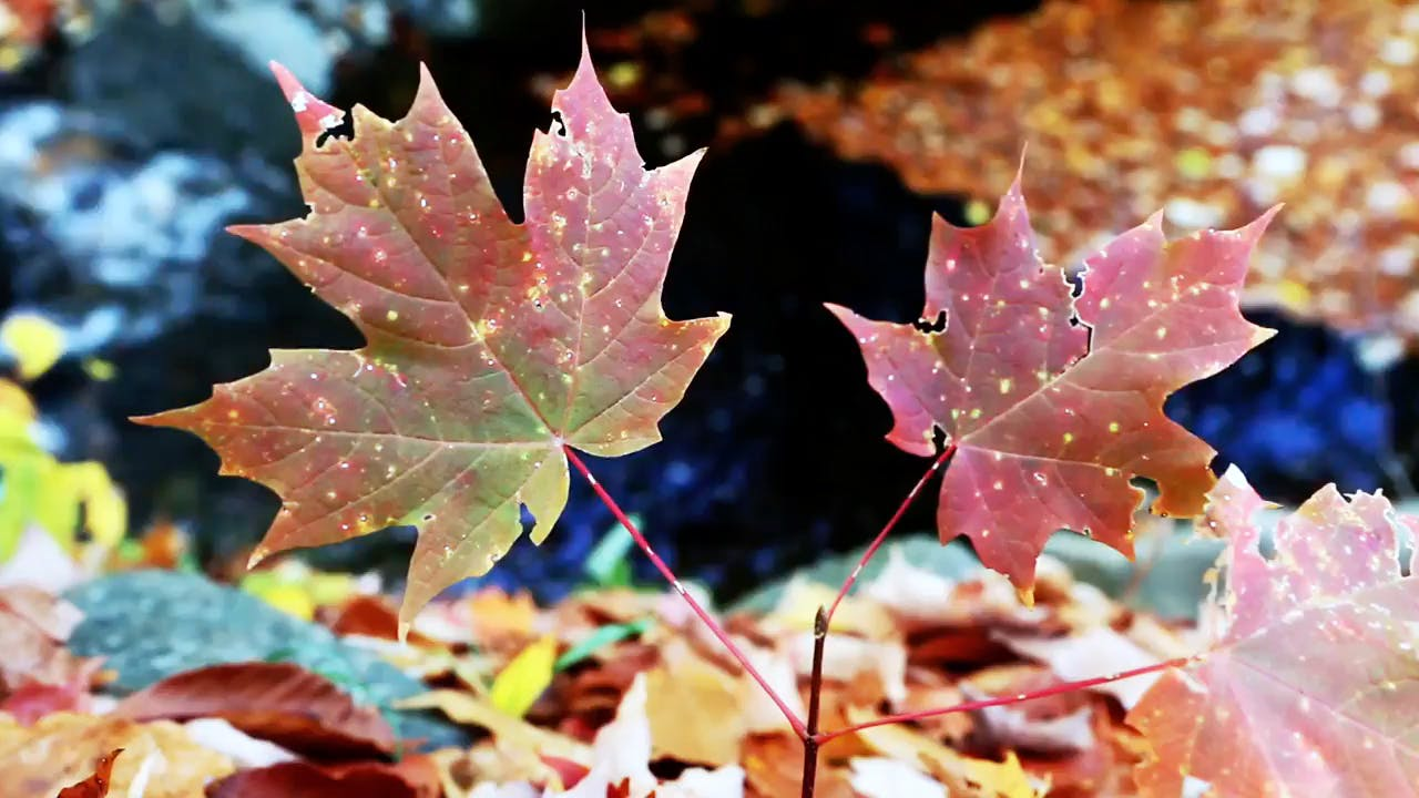Colorful maple leaf autumn