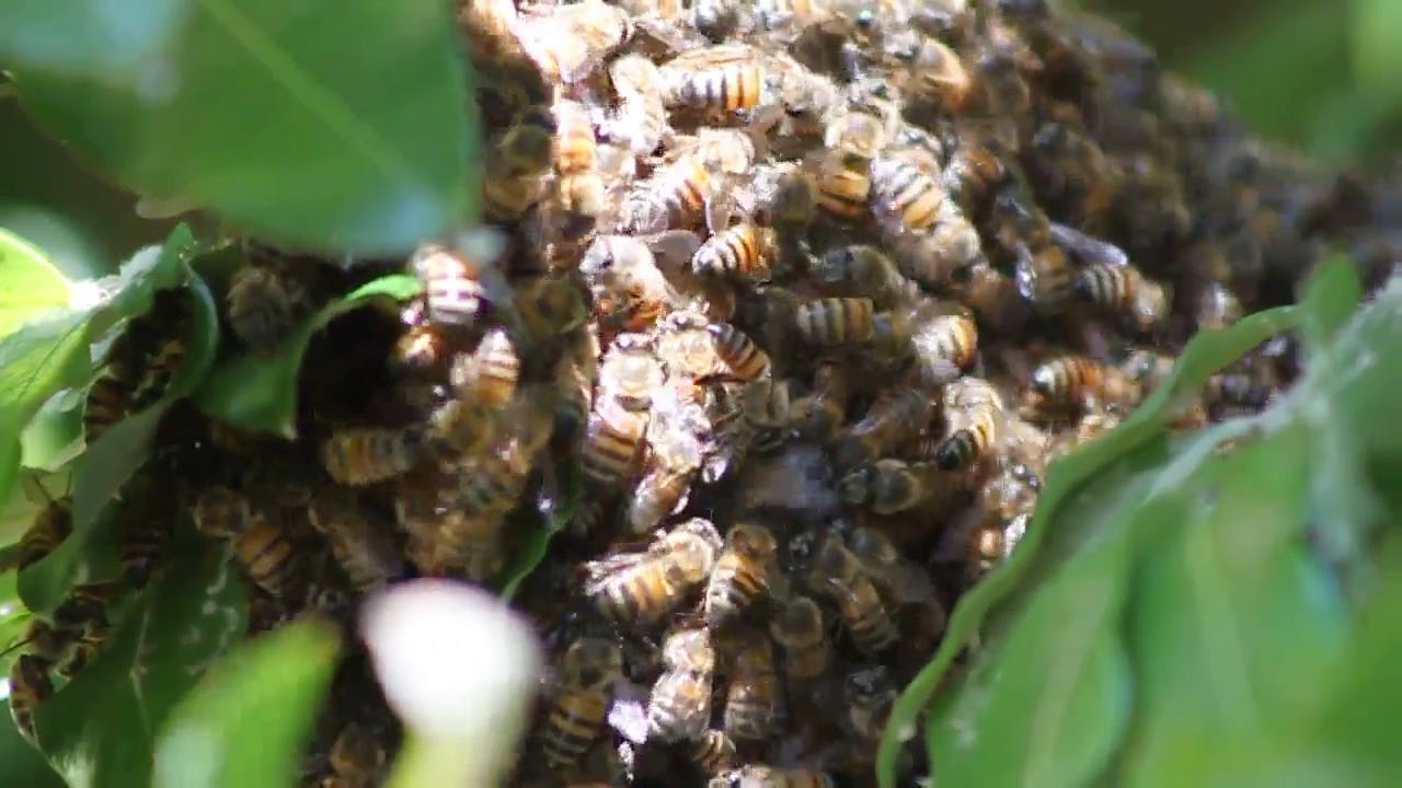 Swarming Bees background video clip
