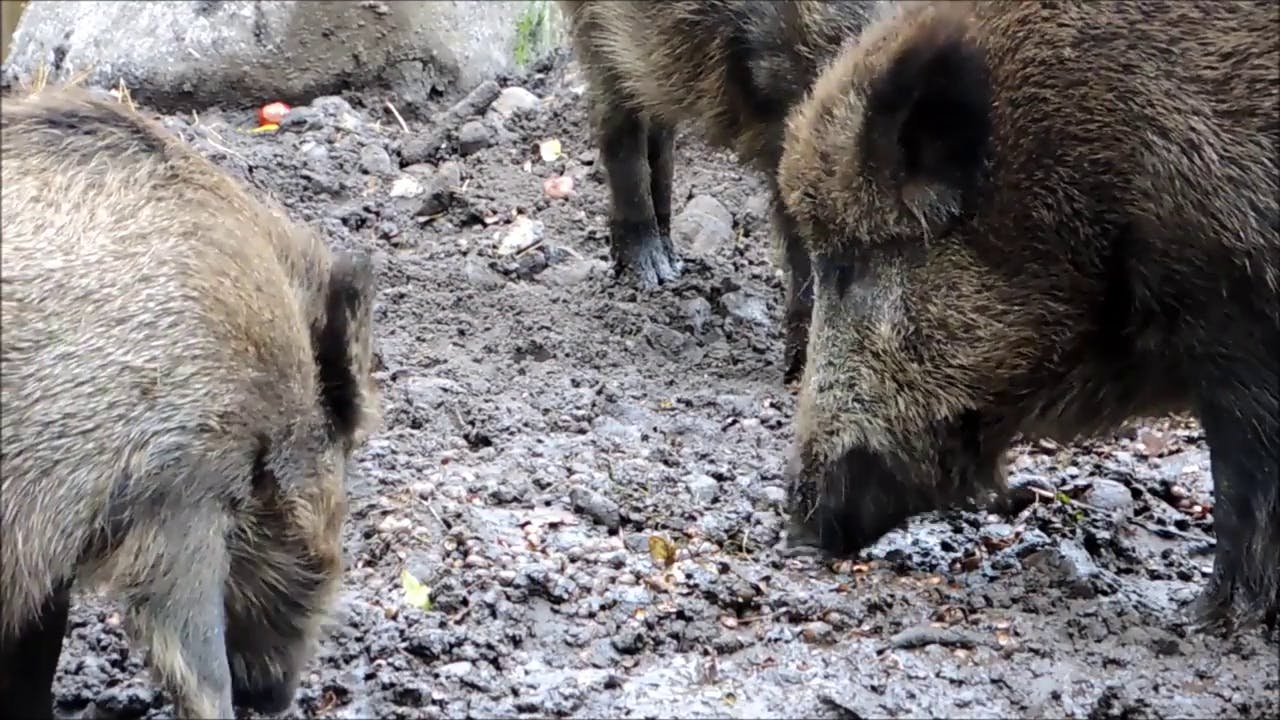 Boars Digging in Mud