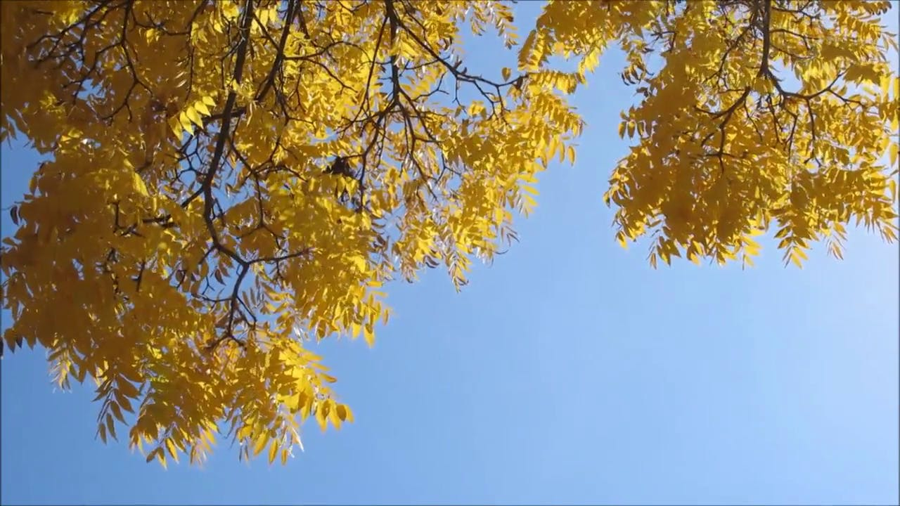 Yellow Tree Leaves background video club
