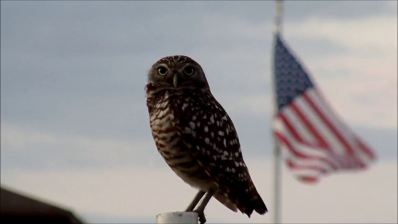 Burrowing Owl and US Flag