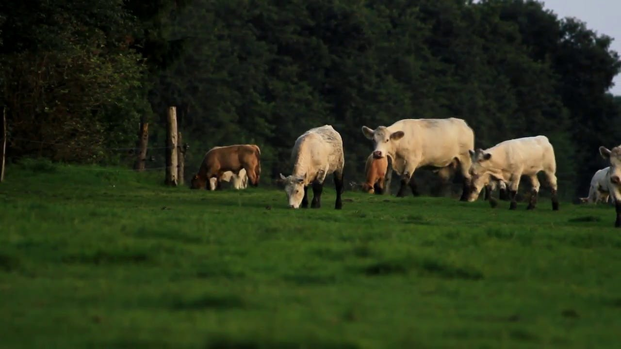 Cows Walking and Grazing