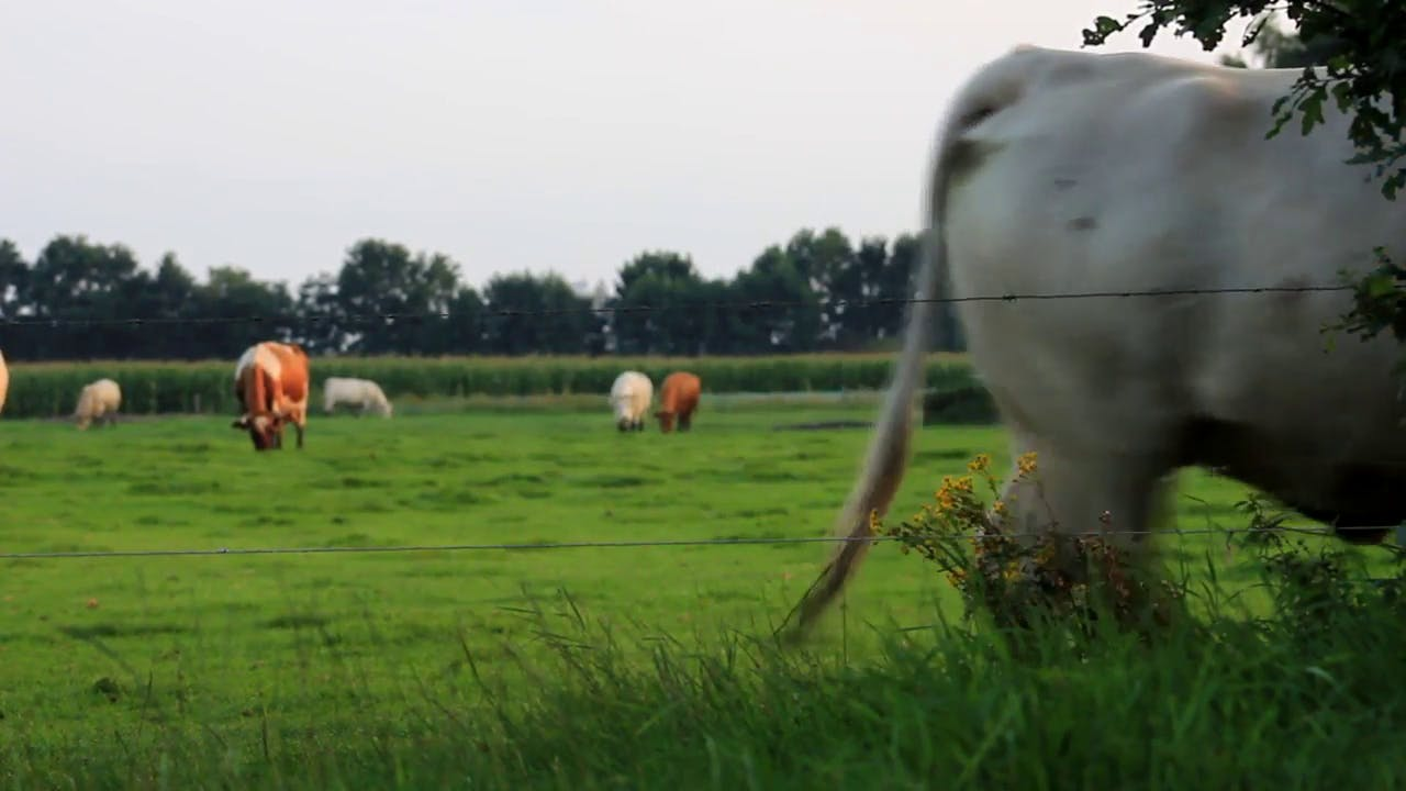 Cow Walking background