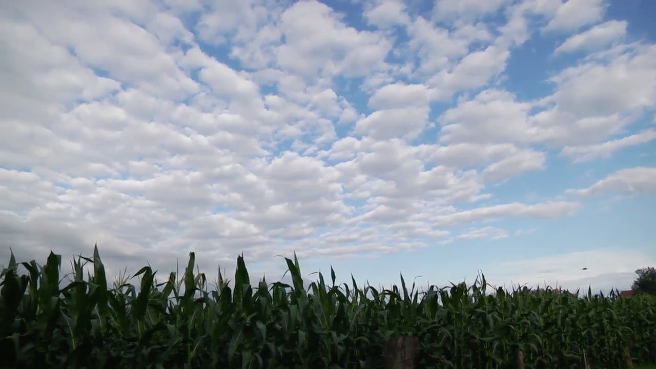 Blue sky over corn field