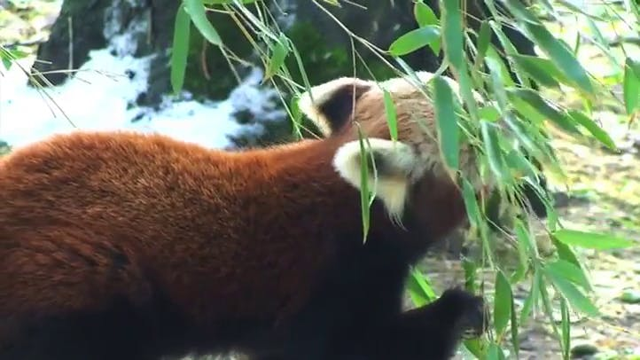 Red Panda Eating Stock Footage