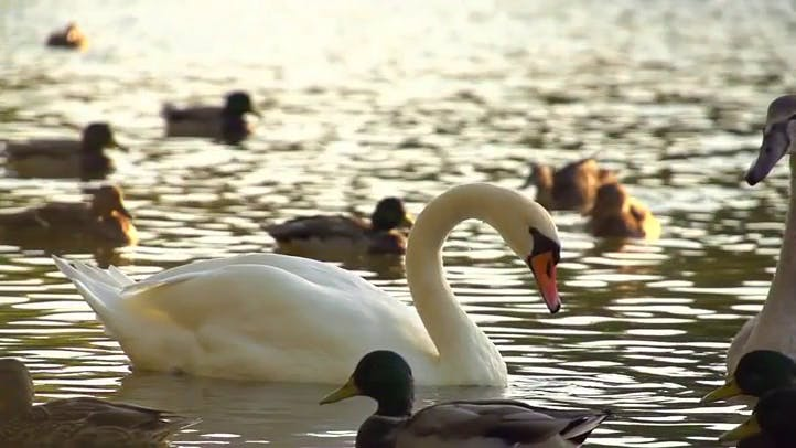 Beautiful White swan floating on water Stock Footage