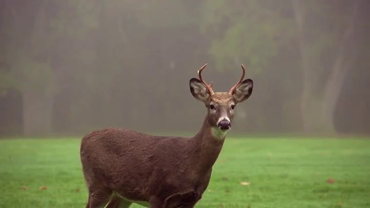Lone Deer Stock Footage