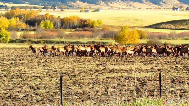Elk in a field in Montana Free stock footage