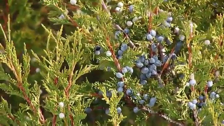 Blue Juniper Berries blowing in the breeze Free Stock Footage