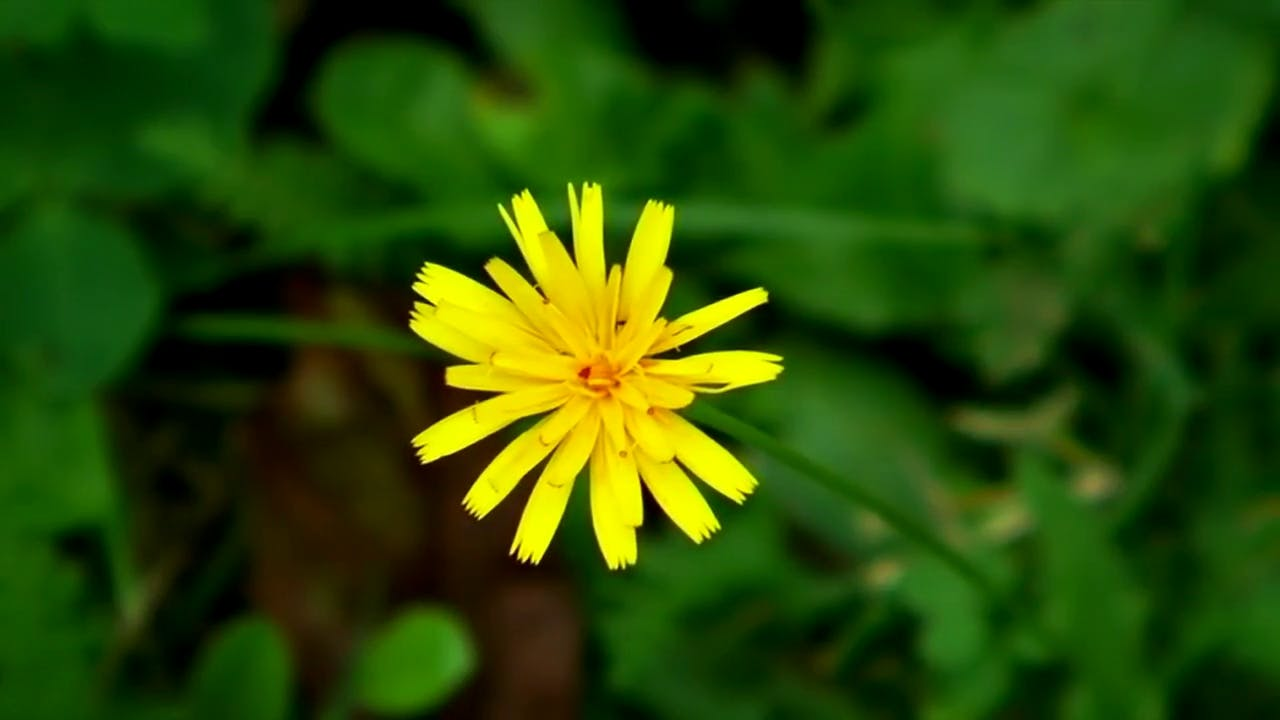 Dandelion flower stock footage
