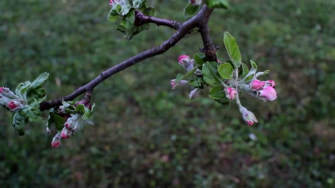 Apple Tree Buds Stock Footage