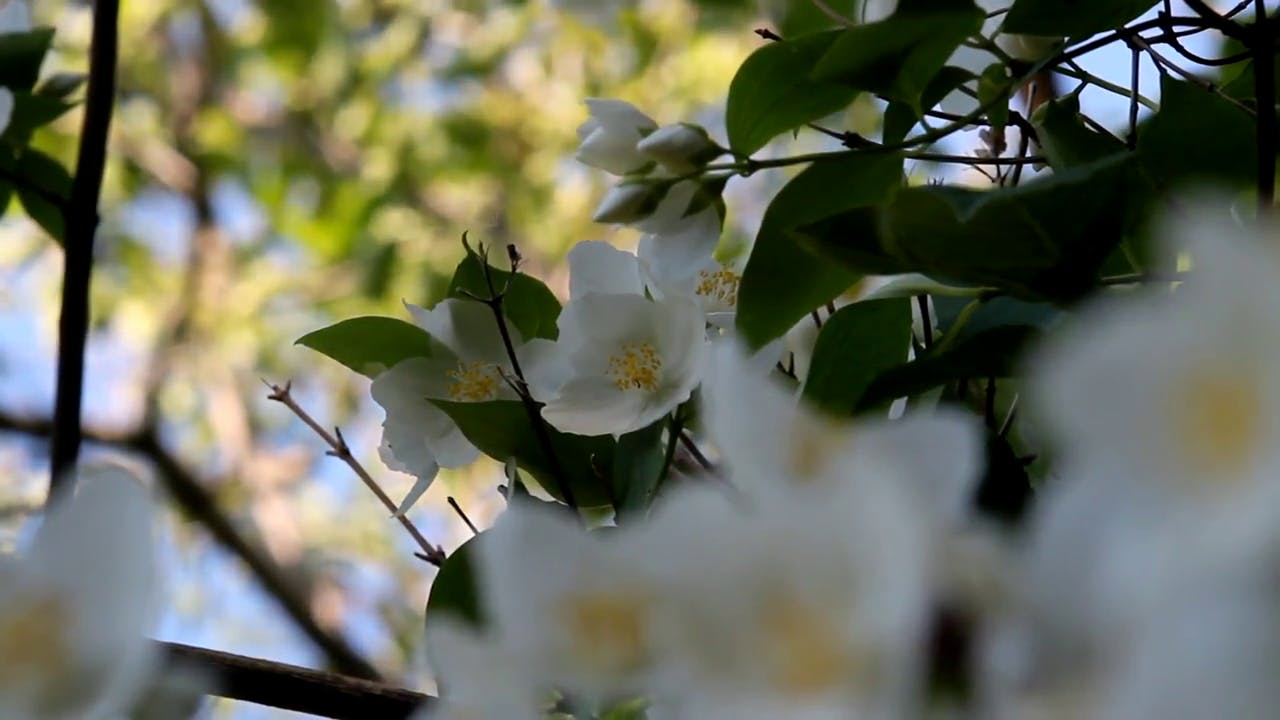 Beautiful Jasmine Flowers Stock Footage