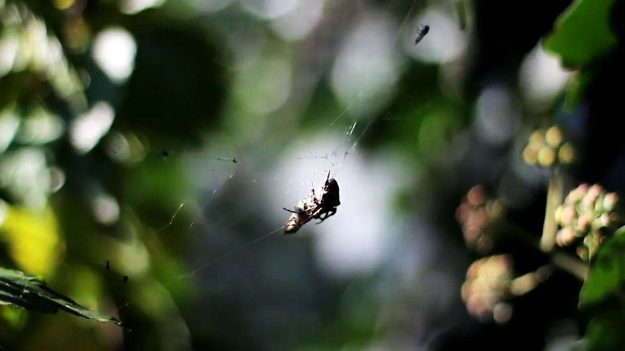 Spiders hanging from web stock footage