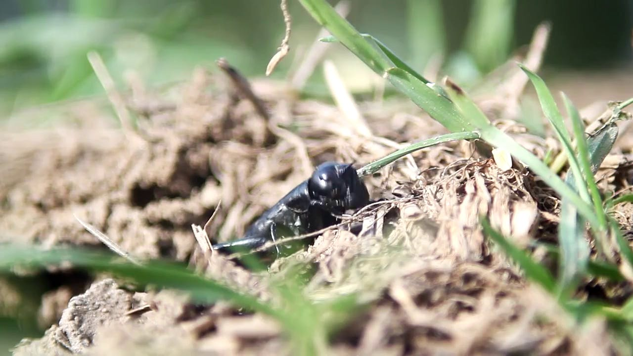 Cricket eating grass stock footage