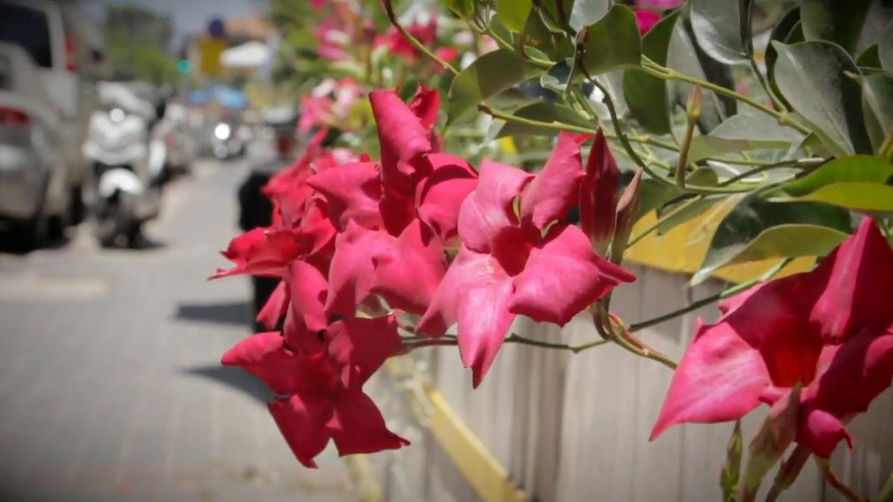 Pink Red Flower Stock Footage